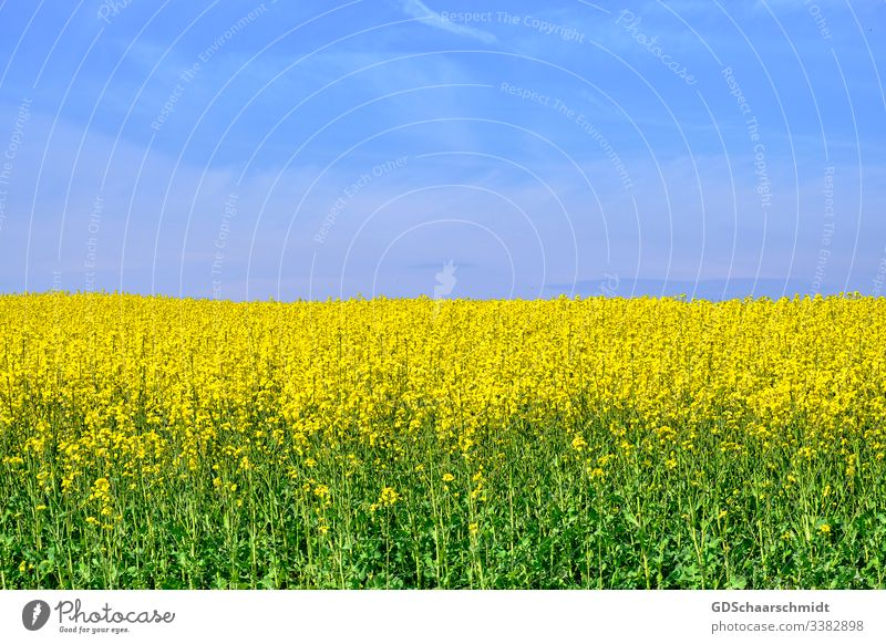 rapsfeld Canola Cooking oil Oilseed rape flower Blossom Farmer Agriculture Canola field Yellow Spring Summer May Nature Colour photo Field Harvest