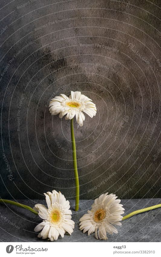 White gerbera flower on dark gray marbled background Tender abstract border capture clipping colors daisies deco decor decorate decorative delicate drops