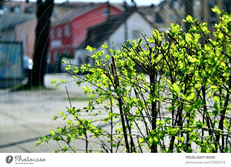Small shrub with fresh green leaves glowing in the sunlight on a suburban street with houses in the background Spring Green Roadside sunshine Illuminate