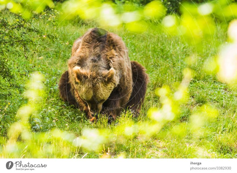 Brown bear crossing a green forest Danger adult animal animals arctos background beautiful beauty big brown carnivore closeup color conservation cute dangerous