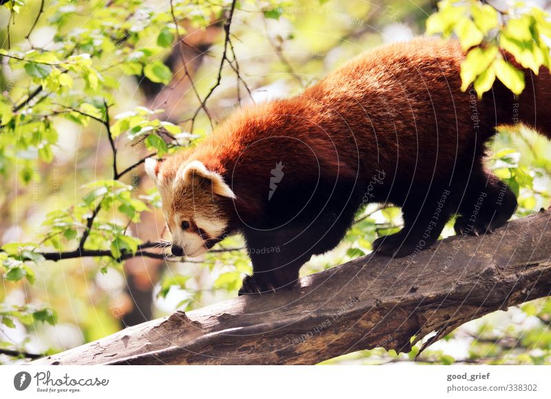 red panda Environment Nature Landscape Plant Animal Elements Climate Garden Park Forest Virgin forest Red Panda Bear Nose Tree trunk Branch Leaf