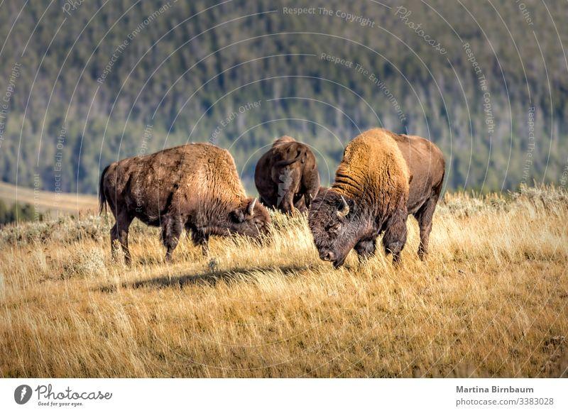 Herd of wild bisons, Yellowstone National Park animal yellowstone wyoming buffalo nature wildlife park national mammal usa male bull prairie brown west america