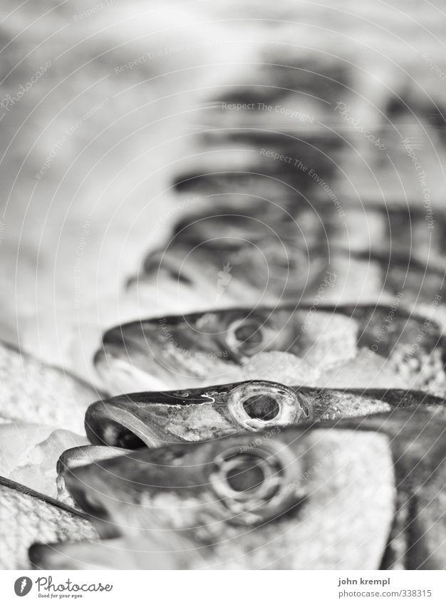 (H) real Animal Fish Group of animals Flock Shopping Lie Swimming & Bathing Appetite Death Marine animal Ocean Markets Black & white photo Exterior shot