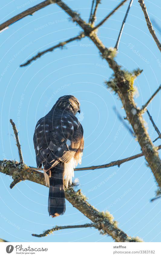 Hawk sitting on tree Bird of prey Nature free wilderness Branch Sunlight Beautiful weather Seldom Blue sky