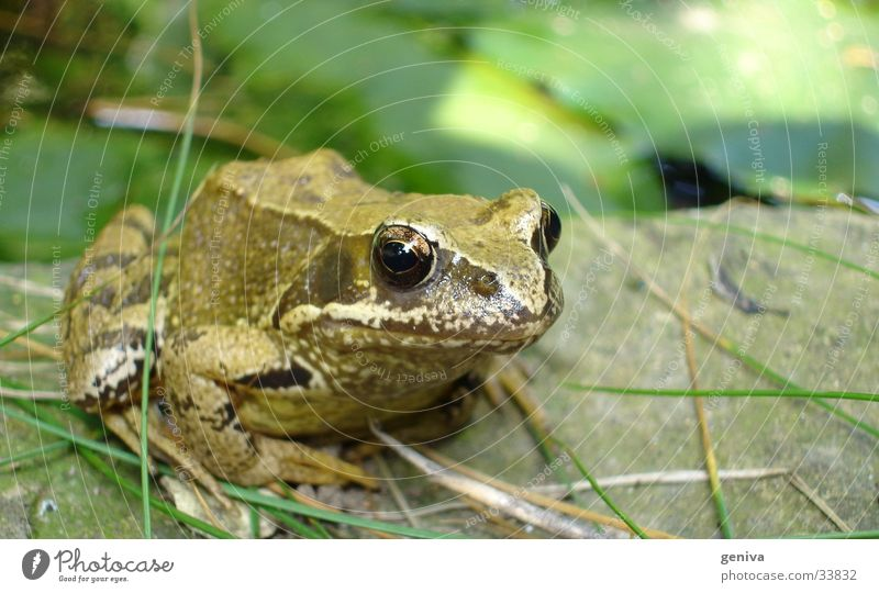 Nature Green Eyes Transport Frog Painted frog