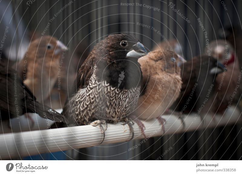 Animal Dark Brown Bird Fear Gloomy Group of animals Captured Penitentiary Crouch Cage