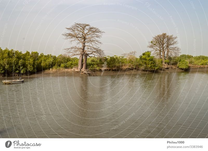 Mangrove area with baobabs Gambia baobab tree beauty in nature color image forest horizontal house idyllic landscape - scenery mangrove forest mangrove habitat