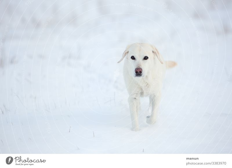 White Labrador bitch in the snow Dog Pet Exterior shot Animal portrait Love of animals Looking Snow Winter Cold Senior citizen Winter pelt Freeze