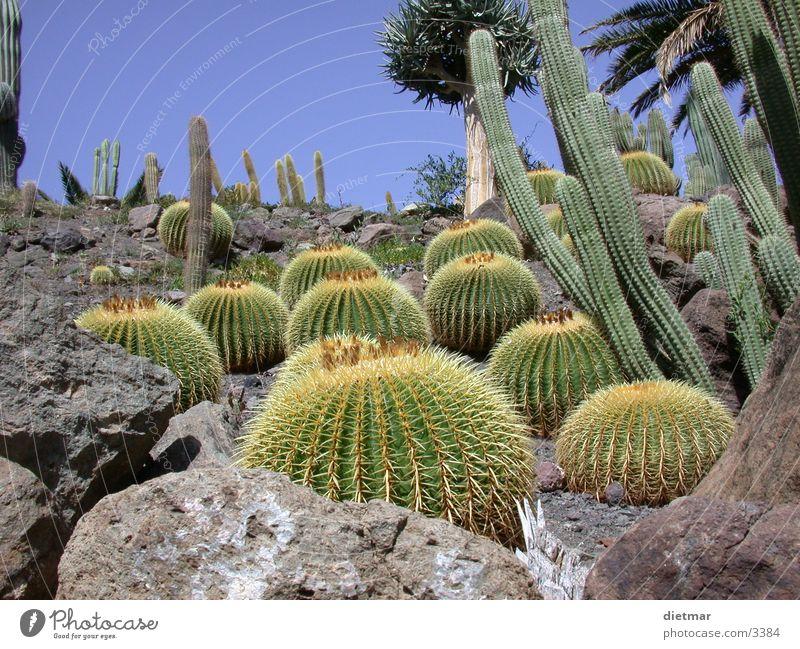 cactus Cactus Plant Nature