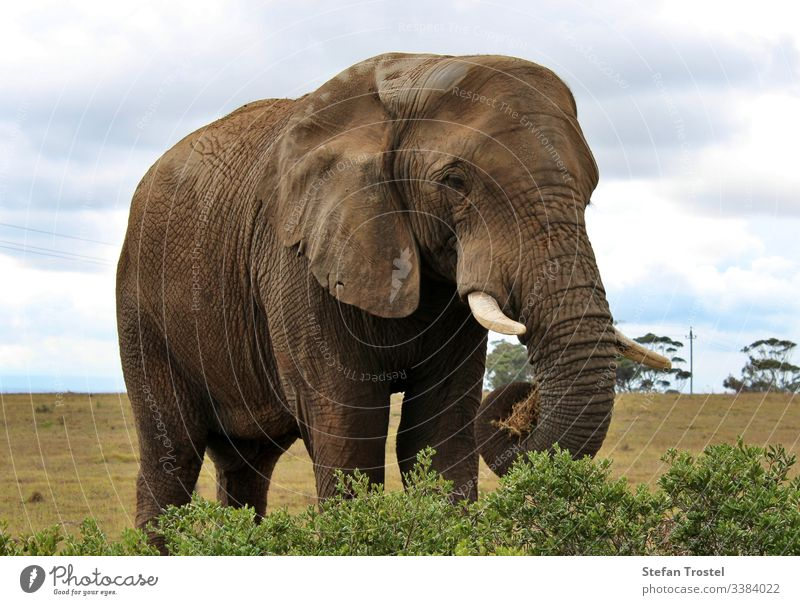 the wild animals of South Africa elephant large big travel wilderness trunk savannah tusk landscape natural reserve tourism background bush nature wildlife