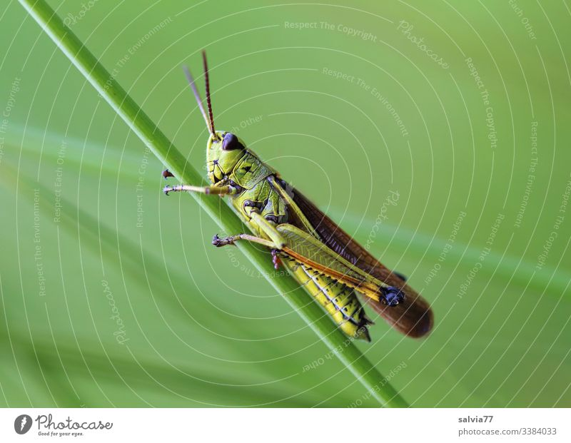 All green, grasshopper clings to blade of grass Nature Meadow Green Grass Plant Macro (Extreme close-up) Close-up Exterior shot Colour photo