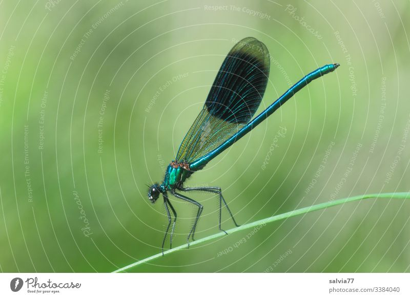 Banded damselfly sitting on a blade of grass Dragonfly Insect Macro (Extreme close-up) Green Grand piano Animal portrait Nature Wild animal Colour photo Blue