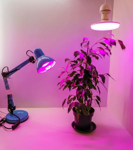 Growing seedlings at home and pink LED phyto-lighting lamps for plants. agriculture technology spectrum red violet eco garden green young growth sprout