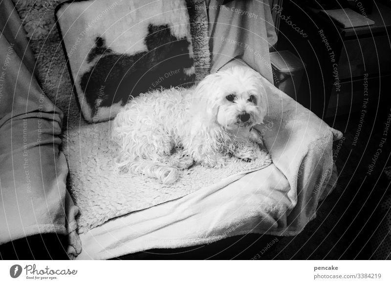 grandma's sweetheart Dog White Maltese Small Armchair television chair Lie cute Honey Pet animal portrait black and white Pelt Day Interior shot Animal face
