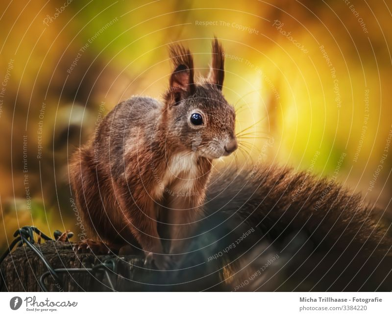 Squirrel in the evening light Looking into the camera Front view Animal portrait Portrait photograph Sunbeam Contrast Shadow Light Day Copy Space bottom