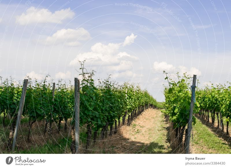 Vine trees with sun landscape. vineyard agriculture country countryside sunrise travel valley scenic clouds sky farm field grape hill grapes napa winery morning