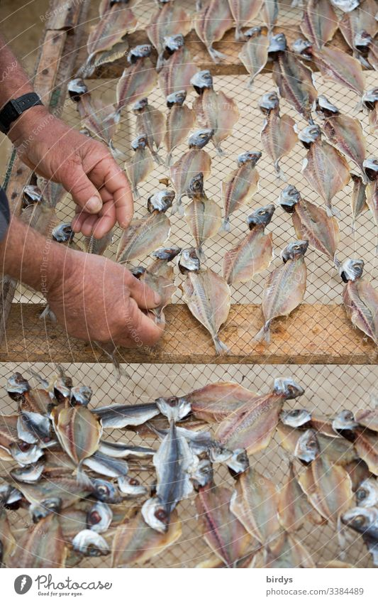 Fischer places sardines on a drying rack for drying, for further use as dried fish for funds, sauces etc. Fish Dried fish Dry Fishery Nutrition Seafood