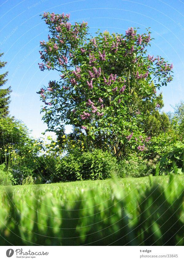Sun Green Garden Lawn Ant Lilac