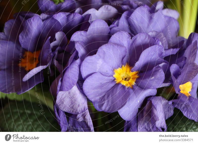 Primrose purple Macro (Extreme close-up) Detail Sunlight Light Day Life Interior shot Deserted Colour photo Joy Optimism Plant Spring Beautiful Spring fever