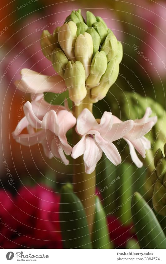 Hyacinth pink Macro (Extreme close-up) Sunlight Central perspective Light Shallow depth of field Detail Pink Day Life Optimism Plant Fresh Blossoming Natural