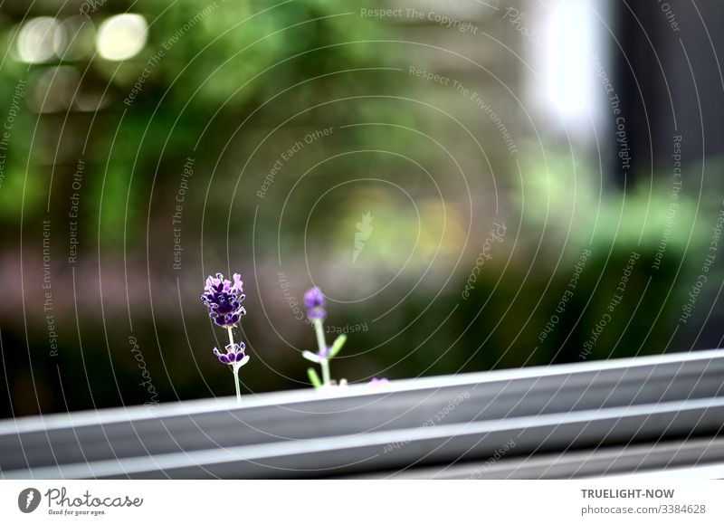 Two cheeky lavender flowers watch the photographer photographing them through the window pane Lavender Flowers Individual Window Garden background White purple