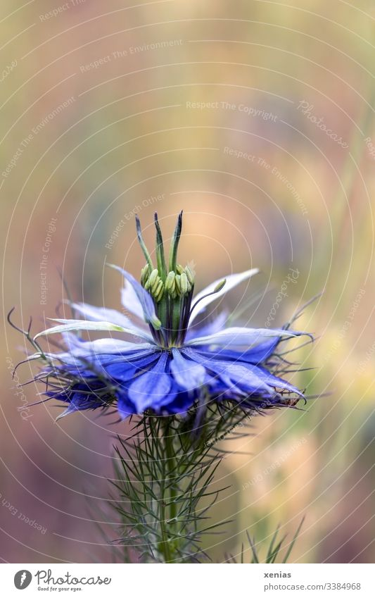 A blossom maiden in green against a blurred background nigella Blossom Flower Love-in-a-mist Meadow Summer Blue Nature Blossoming Detail