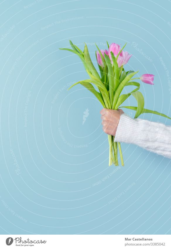 Woman's hand holding tulip bouquet on blue background. Spring concept. Copy space. Tulips pink woman arm copy woman's hand spring flower blossom card