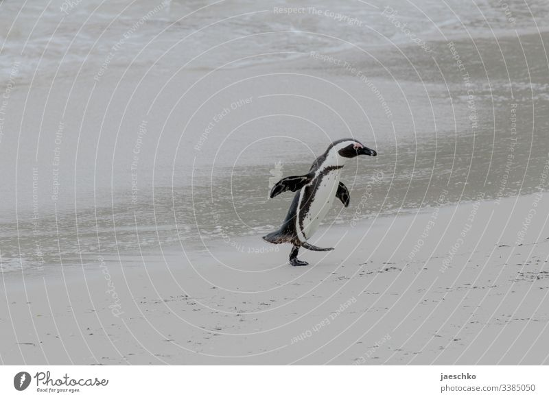 Penguin runs out of the water over beach Web-footed birds Boulders Beach South Africa animals Wildlife Bird Wild animal Nature Animal portrait Coast threatened