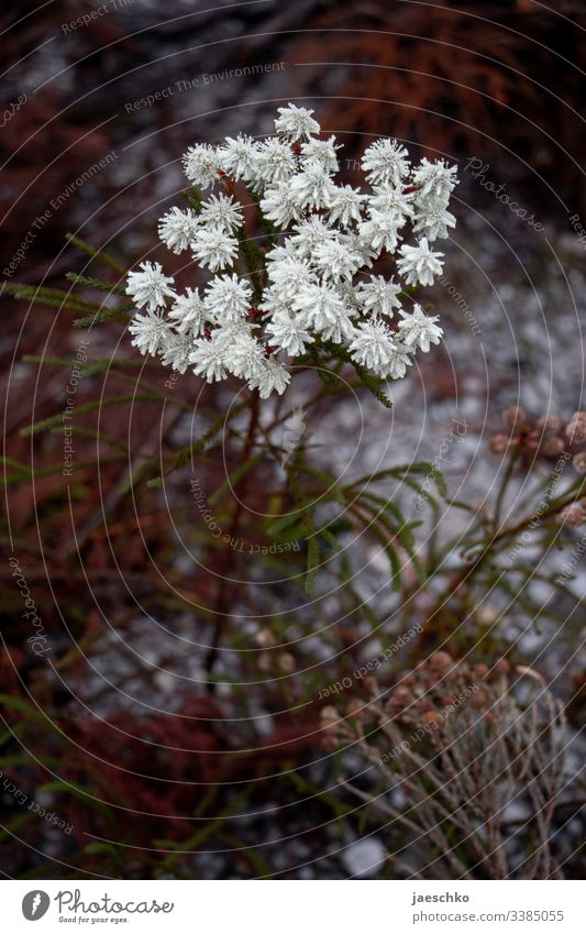 White flower in South Africa Flower Blossom wild flower Plant Nature Blossoming Apiaceae umbel Sparse Dry frugally Meadow Wild plant coniferous wood