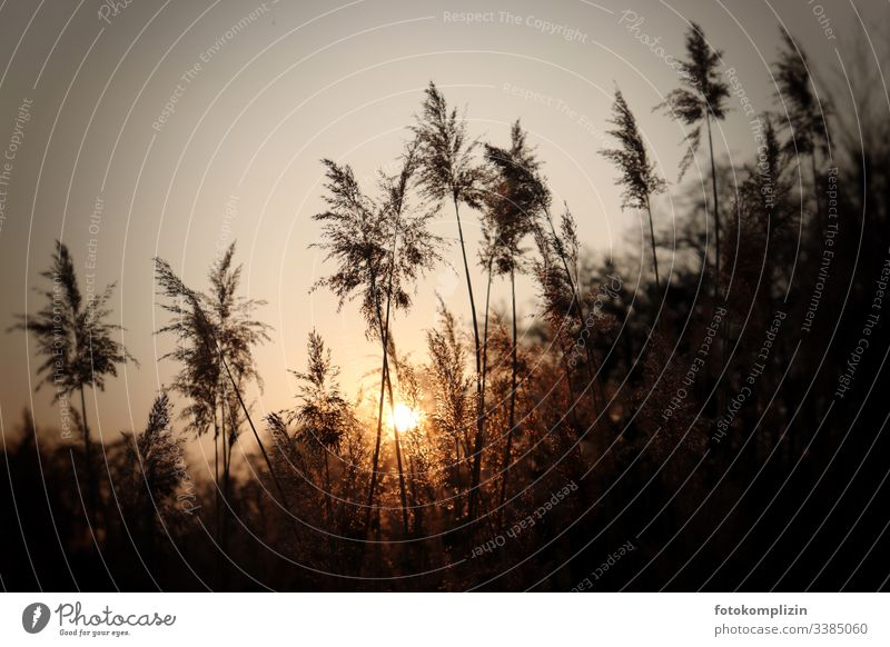 Grass fronds in setting sunlight grass fronds Bamboo grass Pampas grass late summer reed reed grass Common Reed evening light sunset mood Dreamily Nature Plant