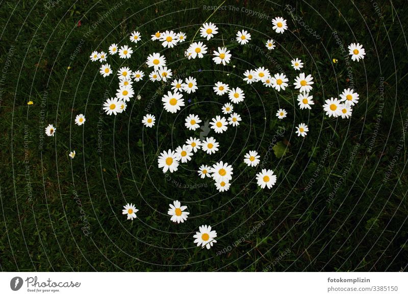 Flower stars on dark meadow Daisy daisy meadow Flower meadow Spring herald of spring Spring flower petals Flower Stars Flowers for children Meadow Exterior shot