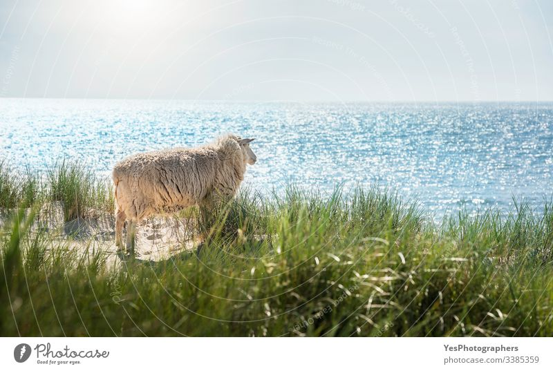 White sheep looking at the North Sea water on Sylt island Frisian animal German beach Germany Schleswig-Holstein beach scenery blue water clear sky coast