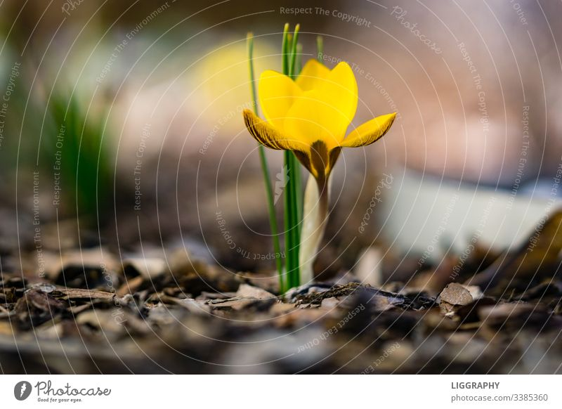 The yellow crocus!!! Crocus Spring Plant Blossom Exterior shot Blossoming Deserted Flower Nature Colour photo Close-up Garden Leaf Macro (Extreme close-up)