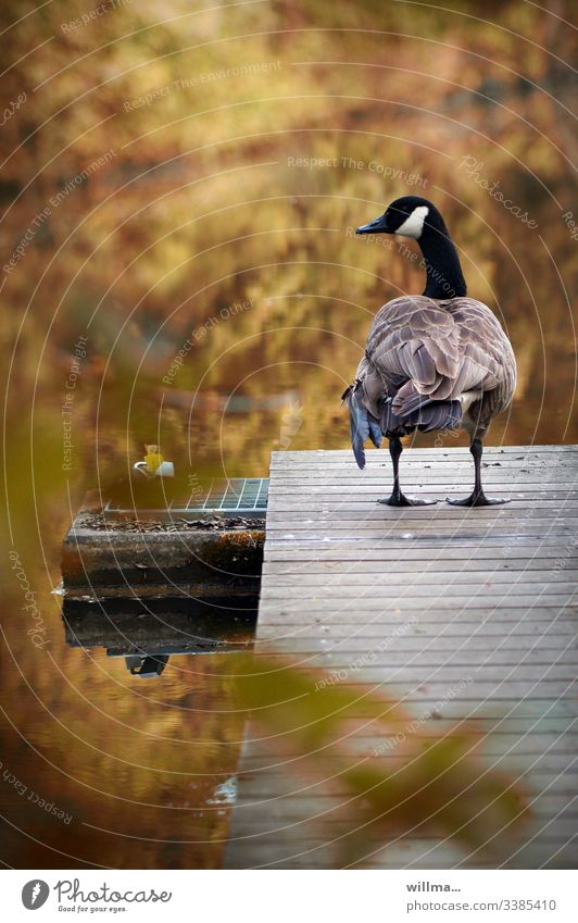 The Canada goose on the catwalk Goose Canadian goose Footbridge jetty Autumnal Rear view Pond Water plumage Stand nature waterfowl