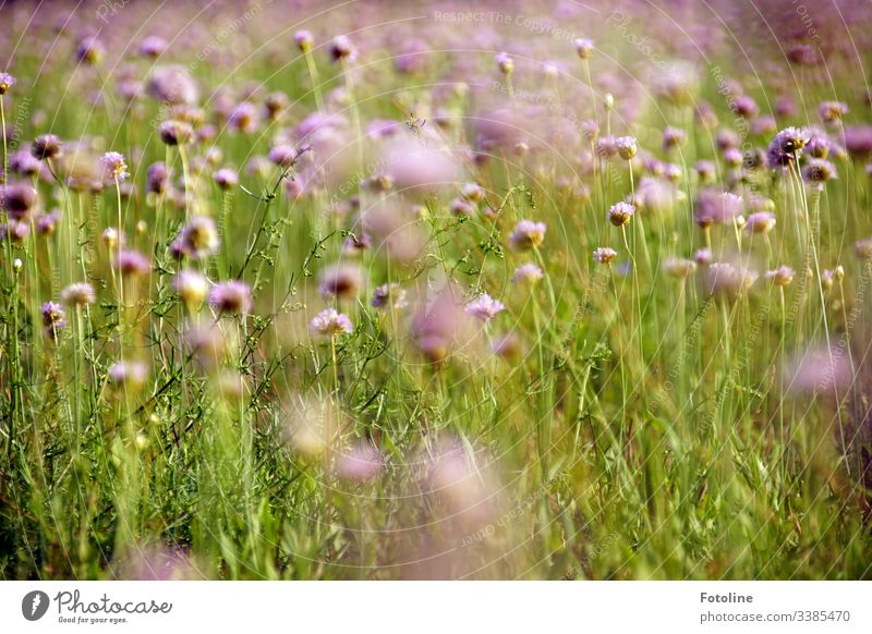 A beautiful summer meadow full of blooming field widow flowers Field Scabious Exterior shot Nature Colour photo Plant Day Deserted Summer Environment Landscape