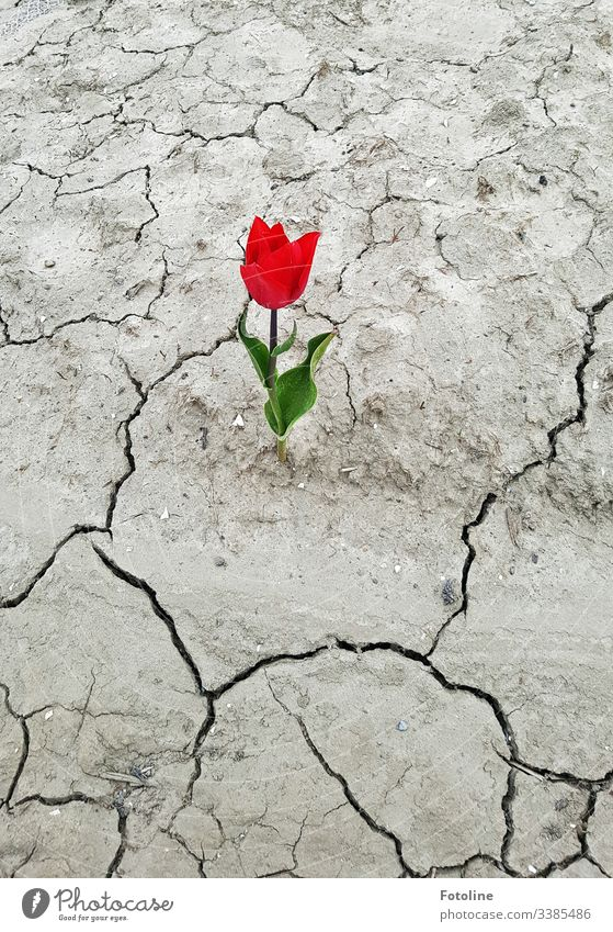 Tulip on parched ground Flower Red Spring Blossom Green Plant Nature Blossoming Colour photo Day Leaf Exterior shot Drought Life Spring flowering plant aridity