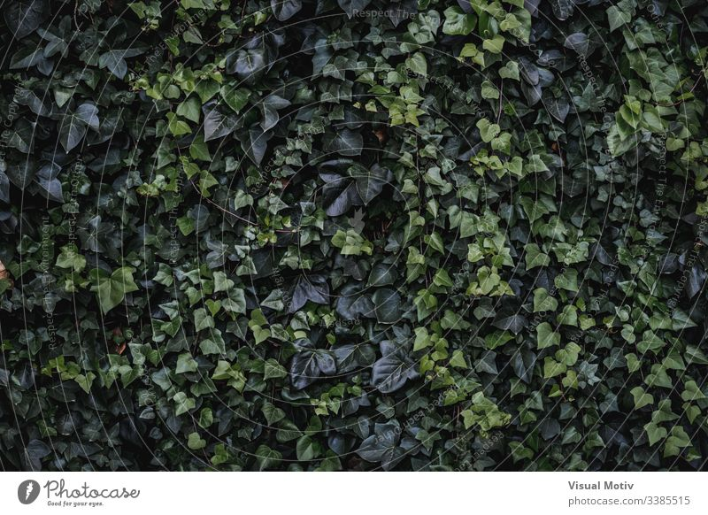 Evergreen leaves of climbing ivy Algerian ivy Hedera algeriensis heart-shaped leaves Evergreen climbing color nature natural plant leaf park garden outdoor