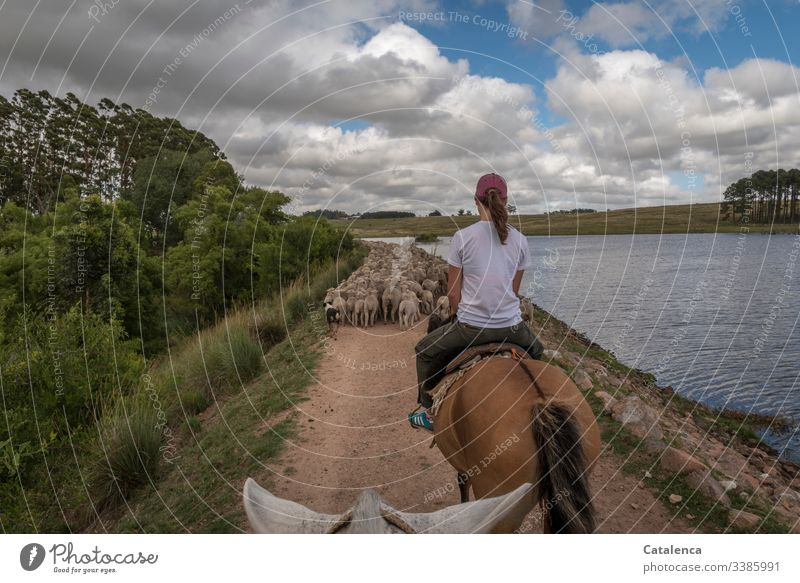 herding sheep on horseback, along a reservoir Rider Horse Sky Summer Clouds Lakeside Animal Nature Flock Landscape Day daylight off Dog Eucalyptus tree Grass