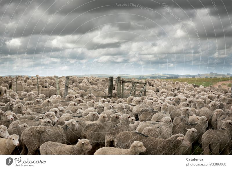 Consumer terror | Intensive animal husbandry fauna animals Farm animals sheep Flock Keeping of animals Intensive stock rearing Herd Landscape Horizon Clouds Sky