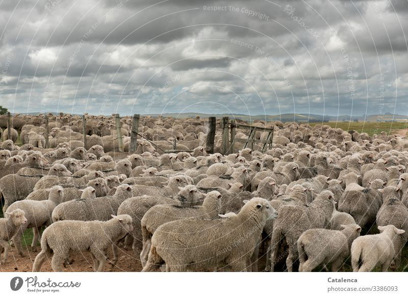 Closely packed together, the sheep of a flock pass the gate to the pasture Sky Summer Clouds Animal Nature Flock Landscape Day daylight Farm animal Environment