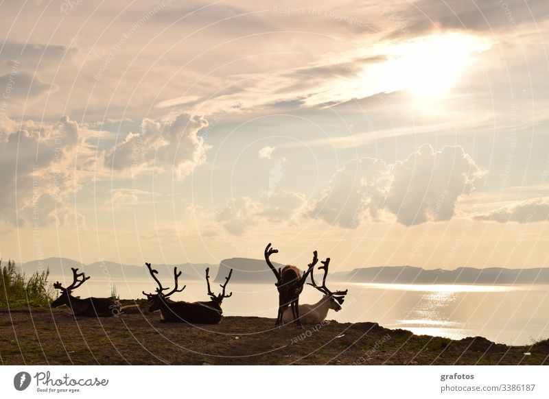 Reindeer Victory - Relaxed group of reindeer over the fjord in Scandinavia Vacation & Travel Animal Exterior shot Deserted Day Animal portrait Lifestyle