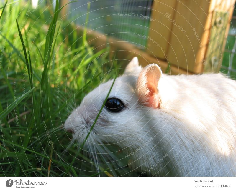 Asfaloth R.I.P. Garden Nature Animal Summer Grass Meadow Pet Mouse Animal face Pelt Mongolian gerbil Green White Whisker Button eyes Enclosure Mammal Odor Cute
