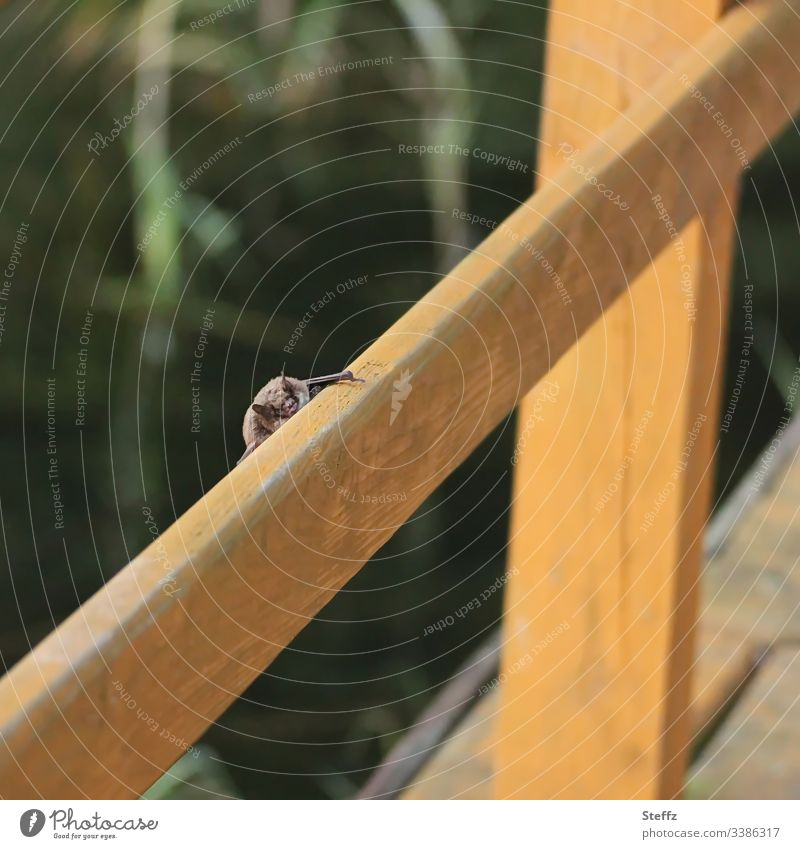 bat Animal Animal face Bat on the lookout Look out looking Nature Virus carrier coronavirus covert Copy Space bokeh Environment Small Hide Wild animal