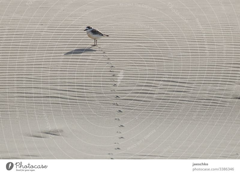 Bird leaves footprints in the sand Flightless bird Tracks Animal Sand Beach Footprint track Suspect trace Footprints in the sand Pursue track search Find