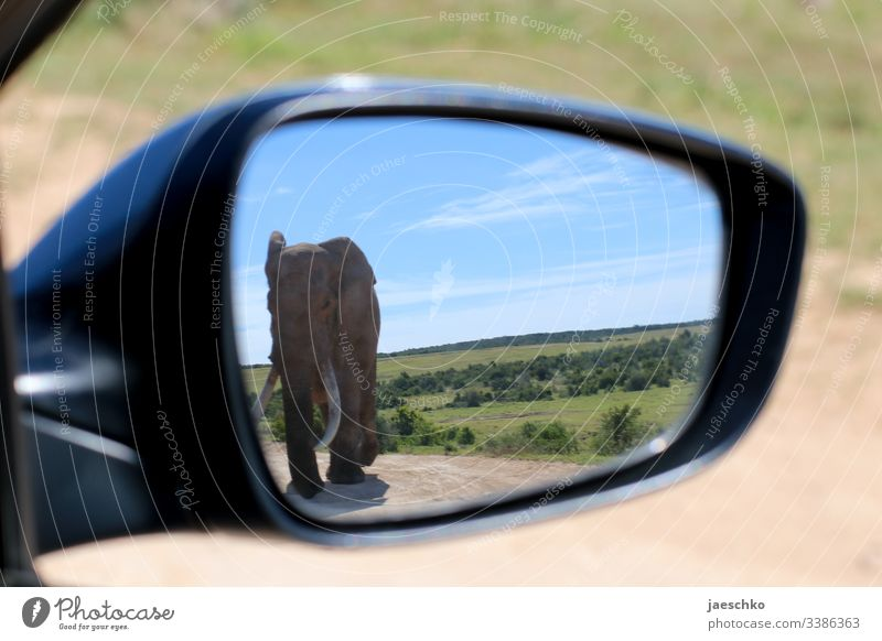 Elephant in the rear view mirror of a car Wild animal Bull elephant wildlife Africa South Africa Safari Animal portrait Nature Savannah Trunk peril