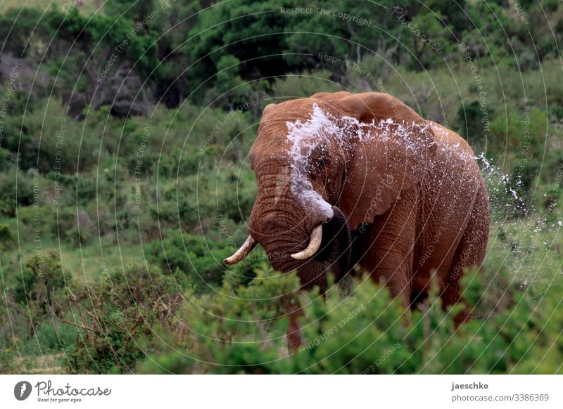 Elephant in South Africa splashes itself with water Wild animal Bull elephant wildlife Safari Animal portrait Nature Savannah Exterior shot Inject Trunk