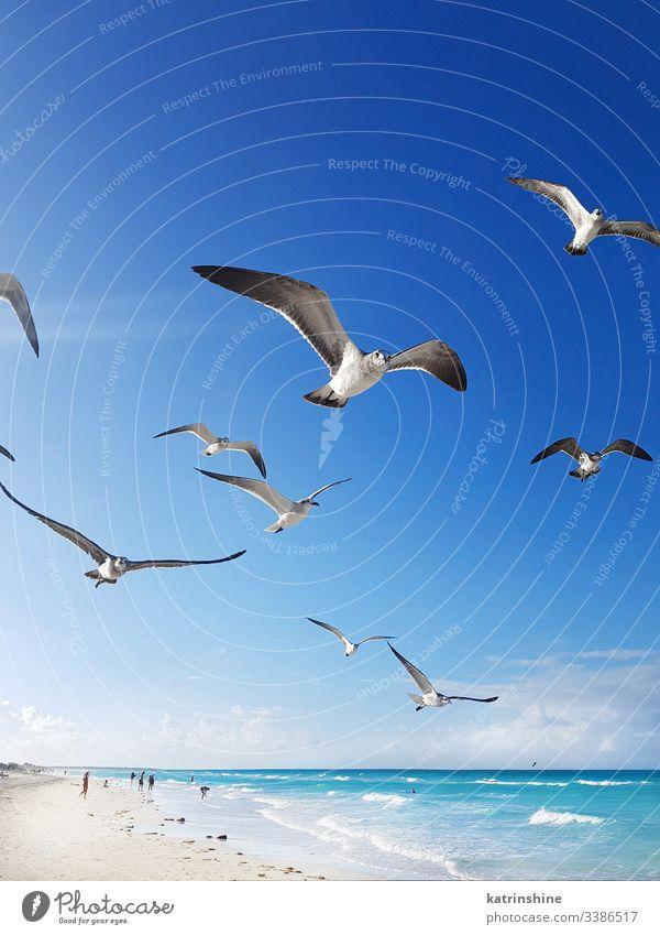Seagulls flying around the beach and Caribbean sea bird seagull white beach turquoise tropical water caribbean relax resort blue calm cayo cayo santa maria