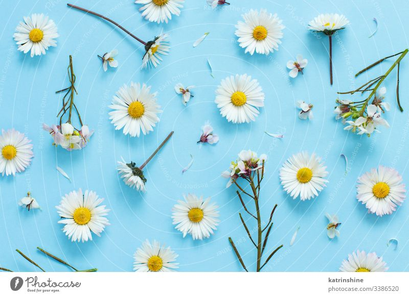 White wild flowers on a light blue background daisy white petals love romantic flat lay top view above concept creative day decor decoration design floral