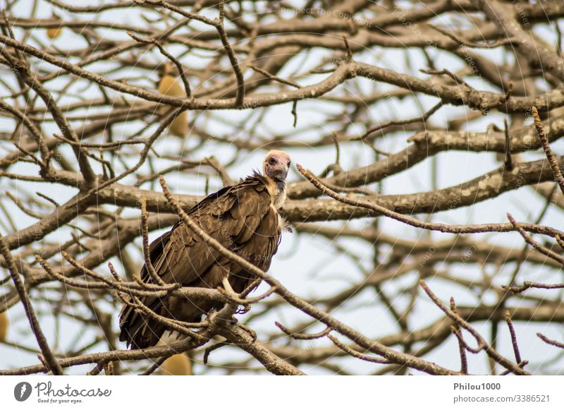A vulture resting on the branch with a background Africa Gambia african animal beak bird carnivore claws conservation ecology eye fauna feather feet flight