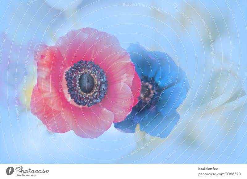 anemones Anemone Spring colourful Close-up natural light creatively Nature Flower Blossom